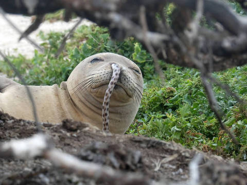 A juvenile Hawaiian monk seal was found with a spotted eel in its nose at French Frigate Shoals in the Northwestern Hawaiian Islands this past summer. MUST CREDIT: NOAA Fisheries/Brittany Dolan.