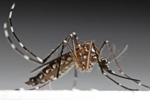 Macro Photography of Yellow Fever Mosquito Isolated on Background