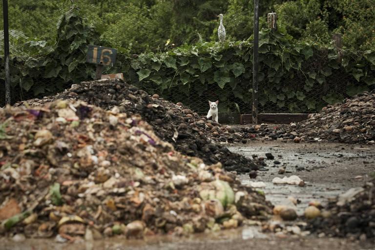 Animais ao redor de lixão localizado perto da praia da Cacimba do Padre, em Fernando de Noronha (PE), em foto de 2011