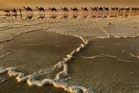 Camelos andam no deserto de sal do lago Asale, na Etiópia