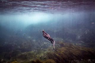A marine iguana swims near Fernandina Island in the Galápagos Islands.