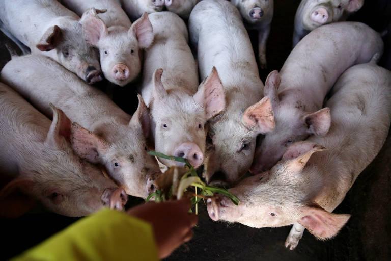 Granja de porcos em Xuanwei, na China