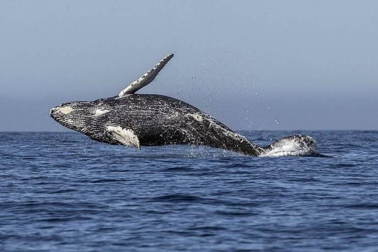 A caça de baleias com fins comerciais levou algumas espécies quase à extinção