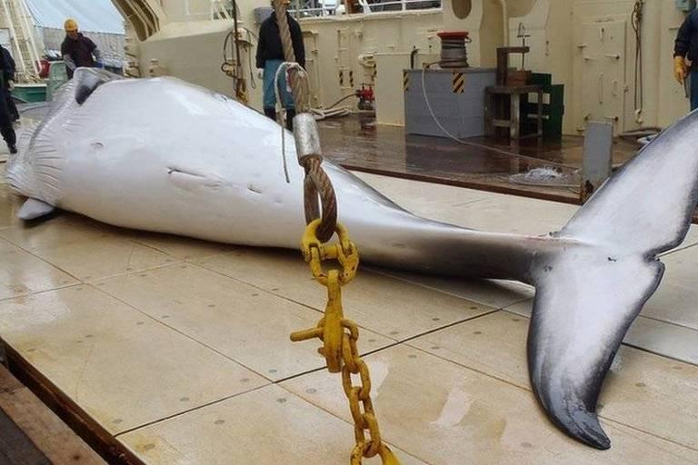 Atualmente, Japão captura baleias supostamente com fins científicos