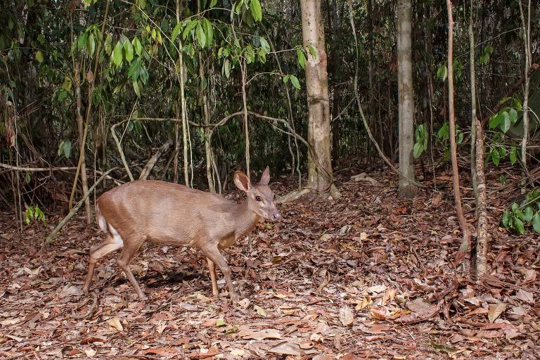 Animais capturados por armadilha fotográfica na Reserva Natural Vale, de mata atlântica, no Espírito Santo