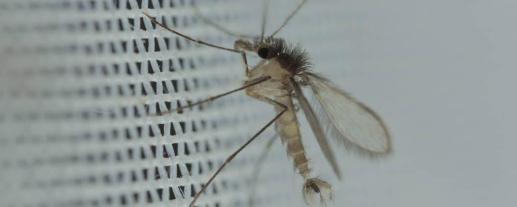 Estudo tenta combater parasita que fica no intestino de flebotomíneo (conhecido como mosquito-palha)