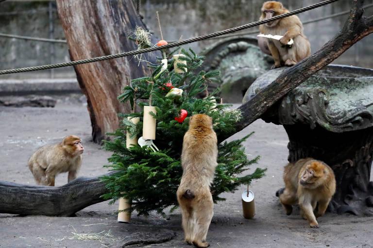 Macacos comem vegetais pendurados em uma árvore de Natal no Zoológico Tierpark, em Berlim, Alemanha