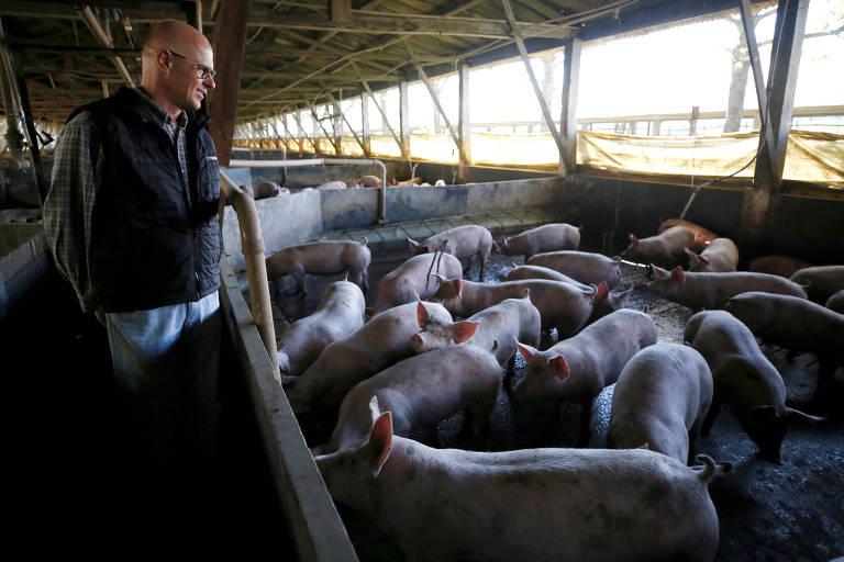 Criador de suínos em Carambeí, no Paraná; estudos já identificaram bactérias multirresistentes na carne de porco