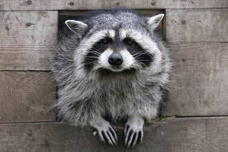 Masha, a female raccoon, looks out of her wooden refuge inside an open-air cage where she hibernates at the Royev Ruchey zoo in Krasnoyarsk