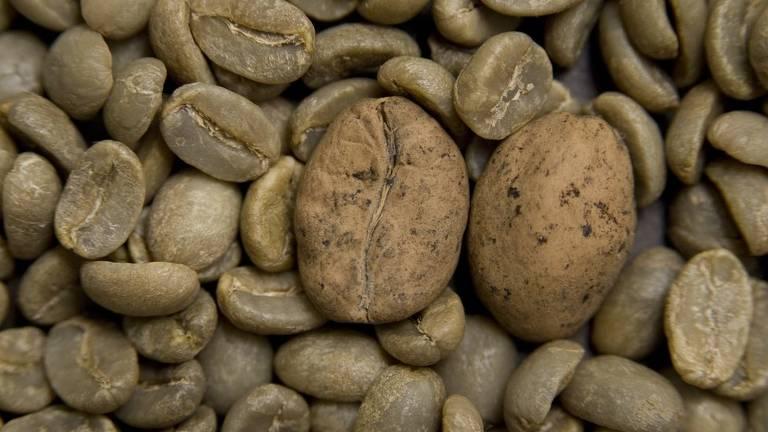 O café Ambongo, de Madagascar (grãos maiores) é uma das variedades em risco