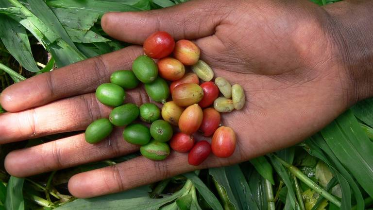 O café arábica, como esse produzido na Etiópia, está entre as diversas variedades que podem desaparecer com a mudança climática