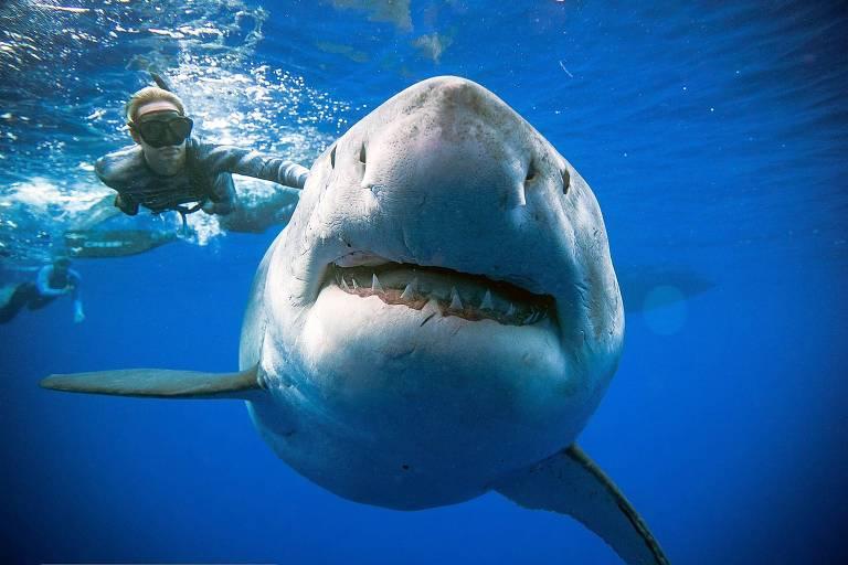 Tubarão-branco gigante é fotografado no Havaí