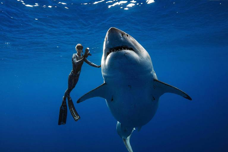 Tubarão-branco gigante fêmea é encontrada por mergulhadores