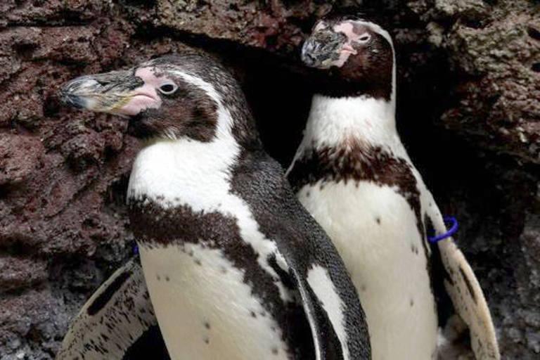Pinguinsde-humboldt são aves típicas da América do Sul