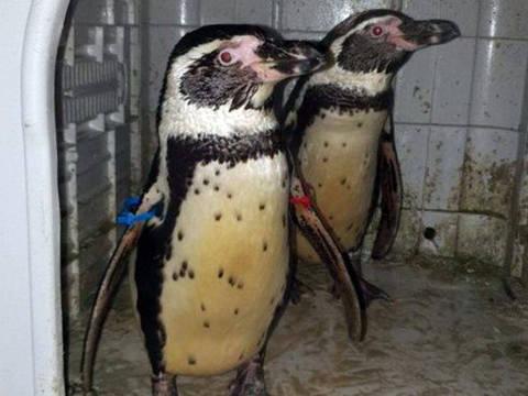 O par de pinguins Humboldt haviam desaparecido em novembro e muitos já haviam perdido a esperança de que fossem encontrados.