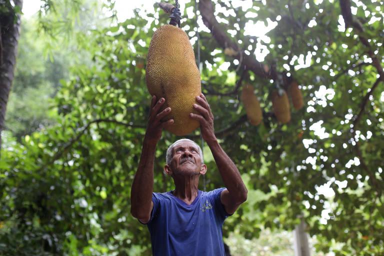 Retrato de Orlando Oliveira durante retirada de jaca no quilombo Rio dos Macacos. A comunidade, na Grande Salvador, enfrenta um conflito com a Marinha há cinco décadas e teme o novo governo de Bolsonaro