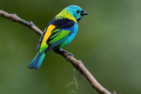 Saíra-sete-cores, ave símbolo da mata Atlântica, na Trilha dos Tucanos, em Tapiraí (SP)