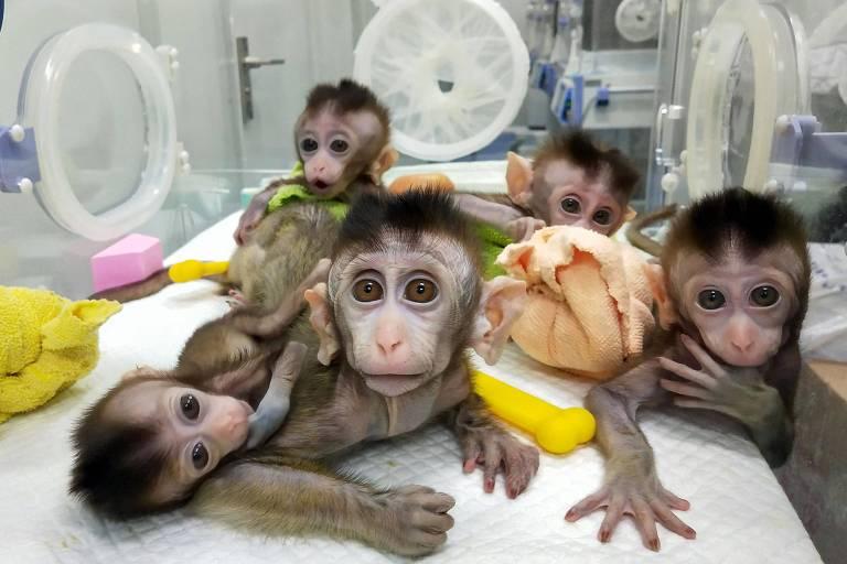 Macacos clonados