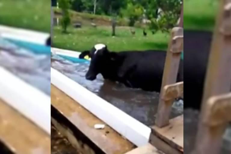 Vaca pula na piscina em Goiás