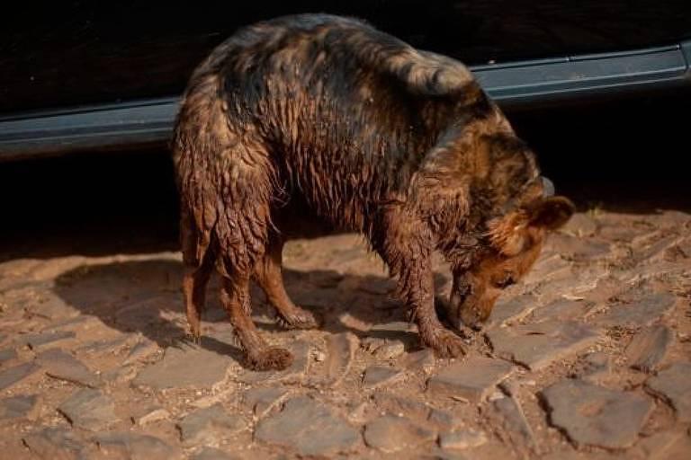 A cadela Nilza, de Geraldo e Vanda, foi resgatada pelos Bombeiros cheia de lama e está abrigada por uma família; vivendo em um quarto de hotel, eles não têm como buscá-la