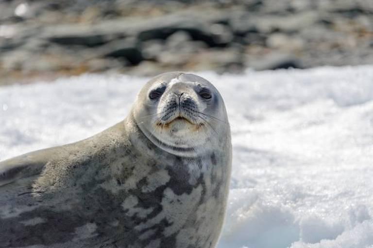 A foca-leopardo é a maior das focas que vivem na Antártida
