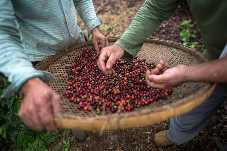 Produtores conferem grãos de café em Dores do Rio Preto, Espírito Santo