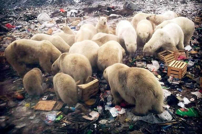 Em Belushya Guba, 52 ursos polares foram contados, procurando comida em lixões locais