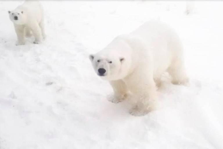 Mais de 50 ursos polares invadem a aldeia russa