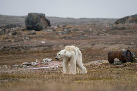 A Polar Bear's Struggle by Justin Hofman, US. Hofman says his entire body was gripped by sorrow as he watched this starving polar bear at an abandoned hunter's camp, in the Canadian Arctic, slowly heave itself up to standing. With little, and thinning, ice to move around on, the bear is unable to search for food