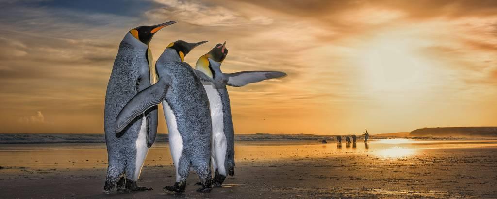 Pinguins-reis brigam por atenção de fêmea