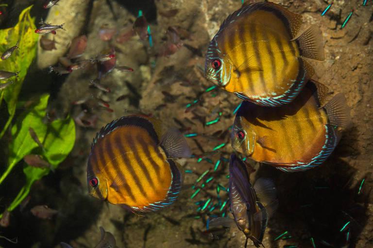 Acará-disco (Symphysodon spp.), que mede de 7 cm a 15 cm e é vendido por até US$ 50 (R$ 185) cada um, a depender do padrão de listras
