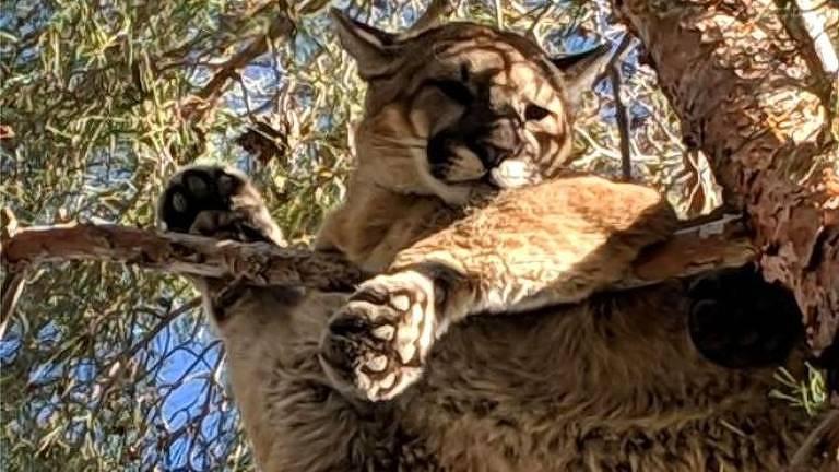 Um morador da Califórna avistou um gato gigante no topo de uma árvore do seu jardim. Quando os bombeiros chegaram, viram que se tratava de um puma