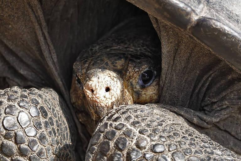 Tartaruga gigante do arquipélago equatoriano de Galápagos