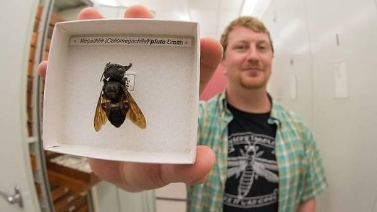 Eli Wyman com uma das poucas amostras da abelha gigante de Wallace conhecidas