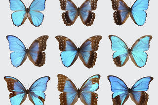 Top left, a male blue morpho butterfly; top middle, a female; the remainder are gynandromorphic
