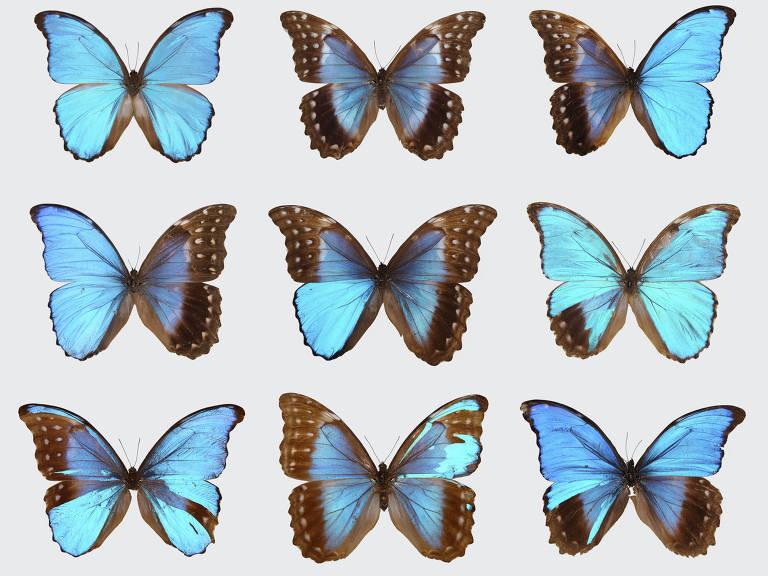 No canto superior esquerdo, uma borboleta morfo azul masculina; no meio superior, uma fêmea