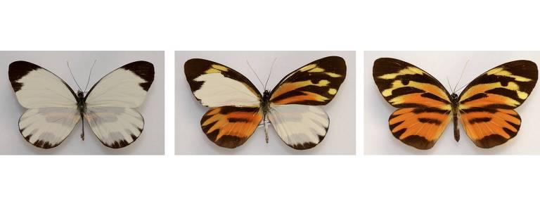 Uma borboleta macho, um mosaico ginandromorfo e uma fêmea
