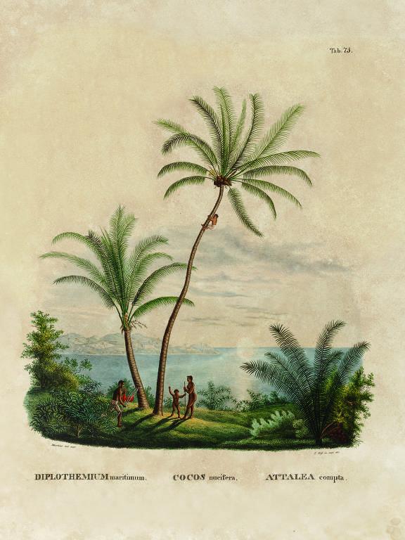 Desenho produzido pelo botânico alemão Carl Friedrich Philipp von Martius em sua expedição ao Brasil, iniciada em 1817