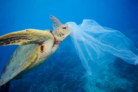 Green sea turtle (Chelonia mydas) with a plastic bag, Moore Reef, Great Barrier Reef, Australia. The bag was removed by the photographer before the turtle had a chance to eat it.