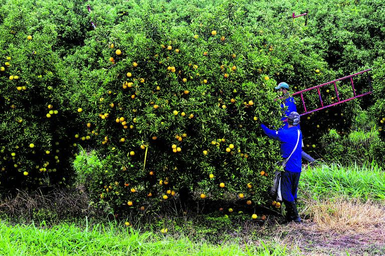 Colheita da laranja no interior de SP; há duas décadas o setor reclama de cartelização da indústria