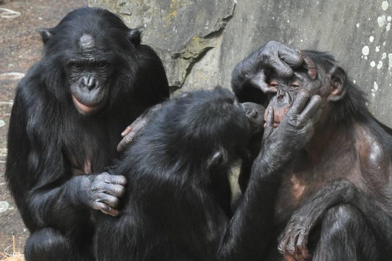 Fêmeas de bonobos, espécie alvo de estudos de De Waal, brincam em zoológico na Bélgica