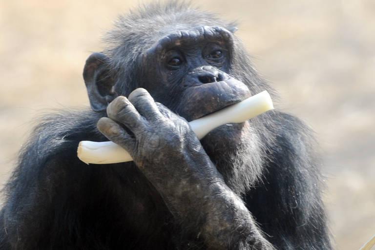 Chimpanzé come alho-poró em zoológico no Japão