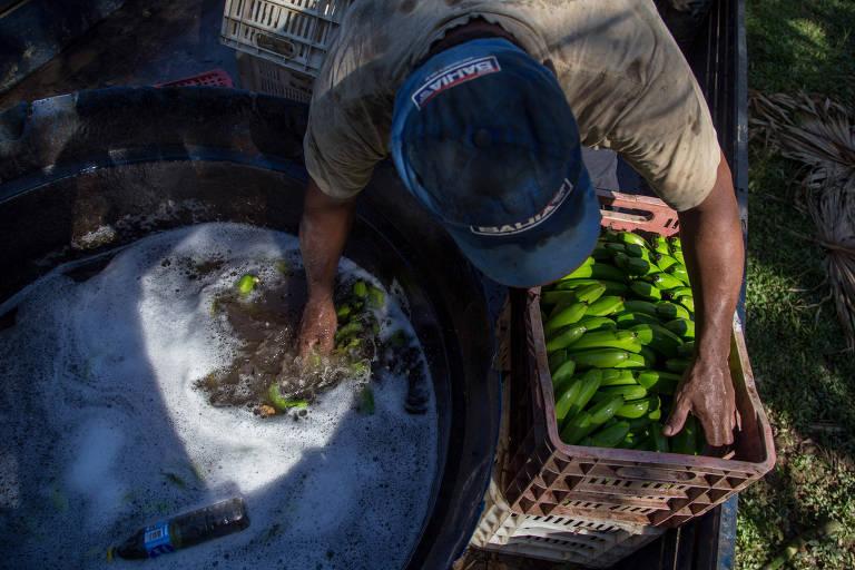 Produção de bananas no Vale do Ribeira