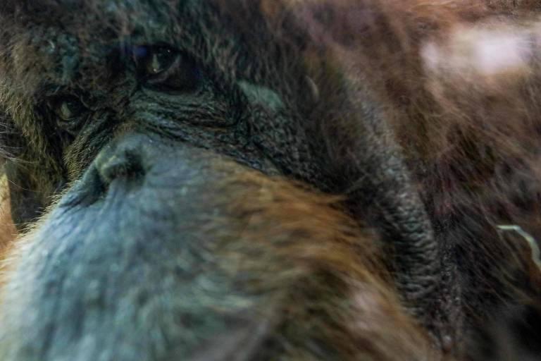 Orangotango 'pintora'
