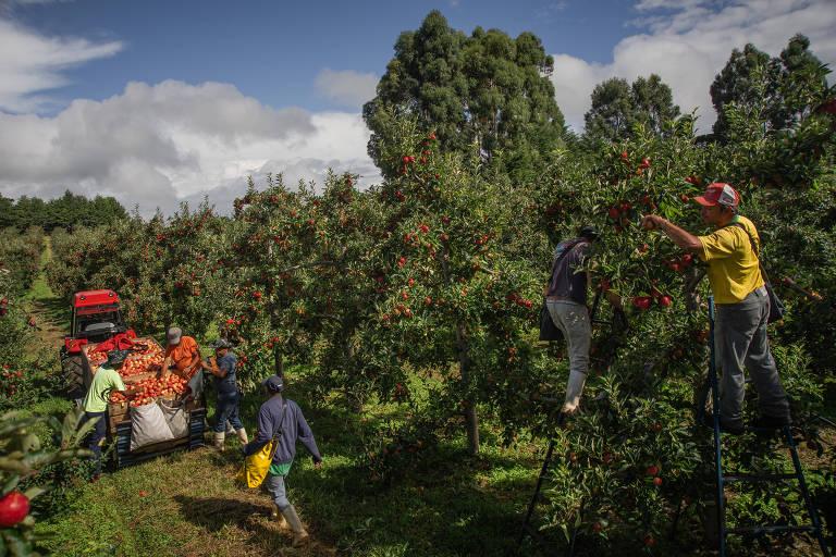 Funcionários durante colheita em pomar de São Joaquim, na serra catarinense