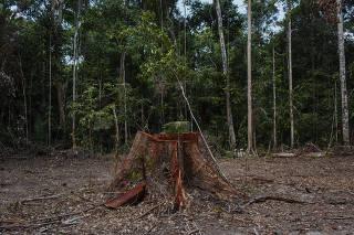 Árvore derrubada em reserva de Rondônia