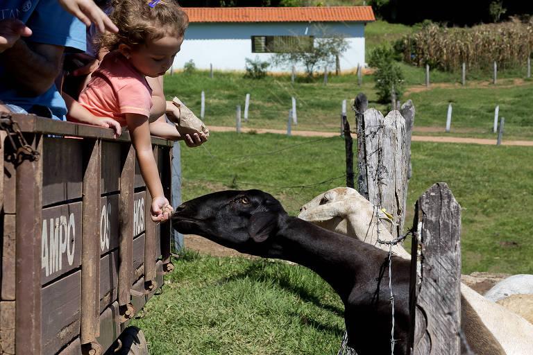 Criança alimenta cabra durante passeio de trator no hotel Campo dos Sonhos, em Socorro (SP)