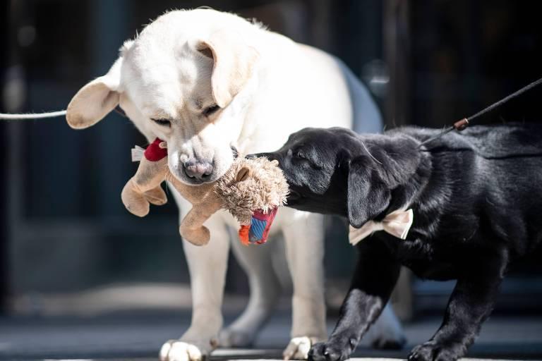 Raças de cachorro mais populares nos EUA