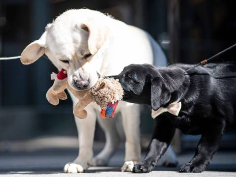 The Labrador Retrievers Lincoln (L) and the 14- week-old puppy Rommy play at the American Kennel Club's (AKC) Museum of the Dog on March 20, 2019 in New York City. Labrador Retrievers were announced the most popular breed in the US. (Photo by Johannes EISELE / AFP) ORG XMIT: EIS