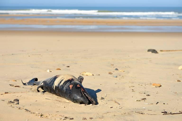Golfinhos são encontrados mortos na costa da França
